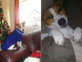 Bennie the Jack Russell