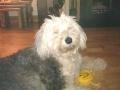 Bobby the Old English Sheepdog