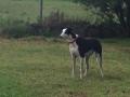Eddie the Greyhound