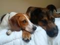 Max the Foot Beagle
