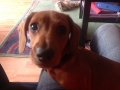 Mulligan the Miniature Dachshund