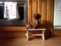 Mulligan the Miniature Dachshund