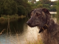 Obie the Scottish Deerhound/Greyhound