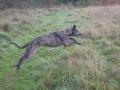 Obie the Scottish Deerhound/Greyhound